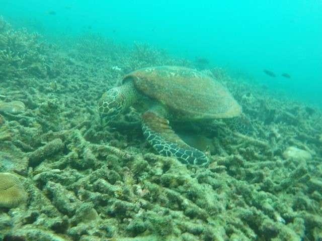 Schildpad in Koh Tao