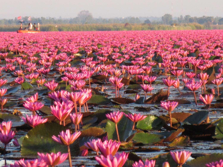 Rode lotusbloemmen in Udon Thani die alleen in december bloeien