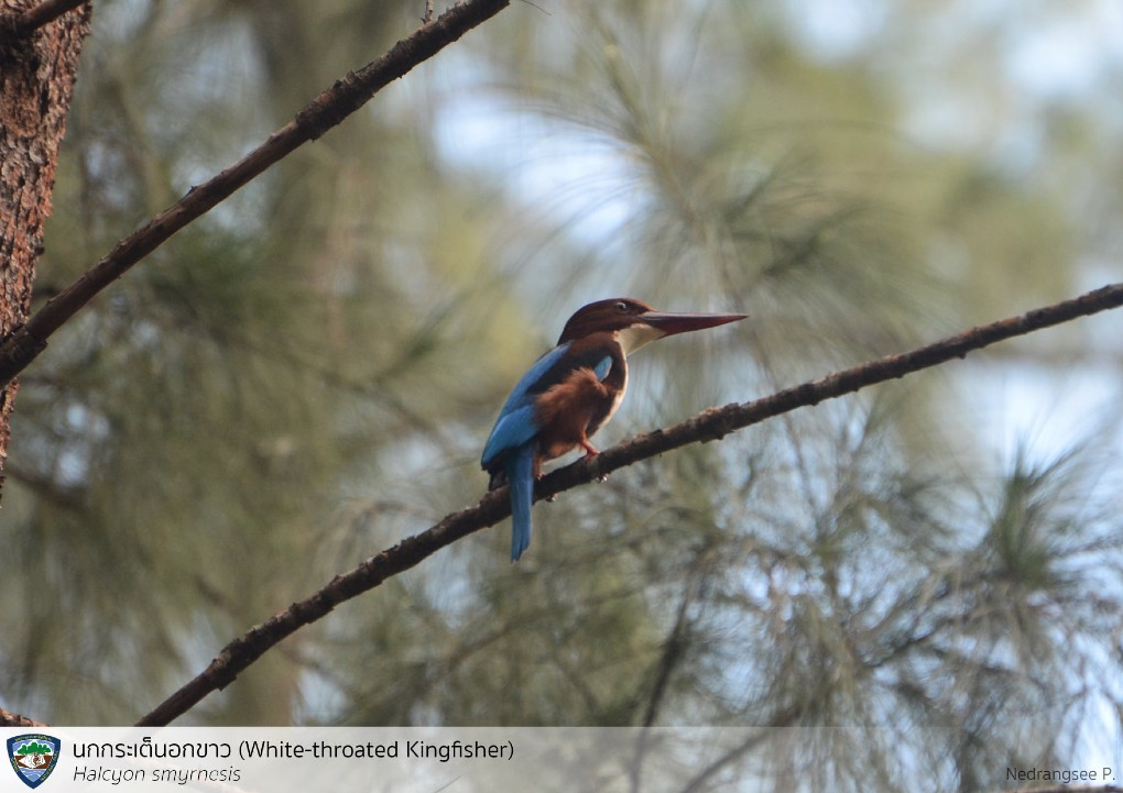 The white-throated kingfisher bird in the Sirinat National Park