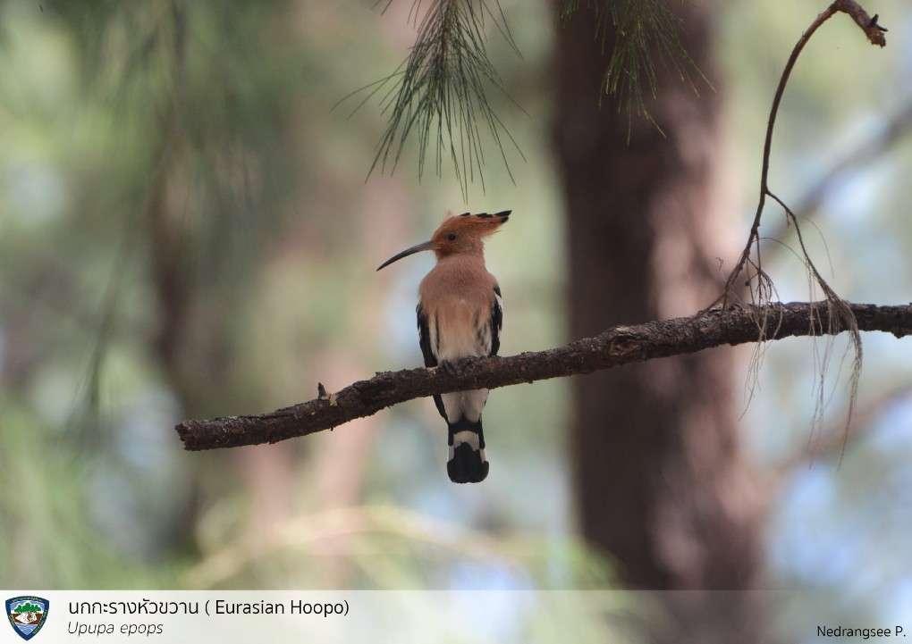 The Eurasian Hoopo bird in the Sirinat National Park