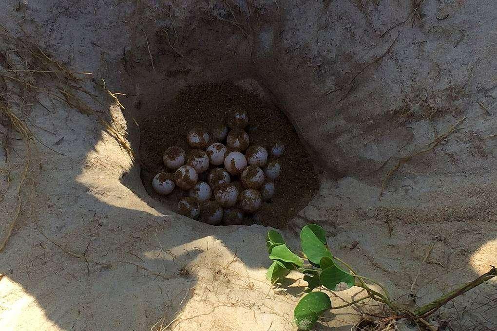 Leatherback turtle nest in Sirinat National Park on Phuket
