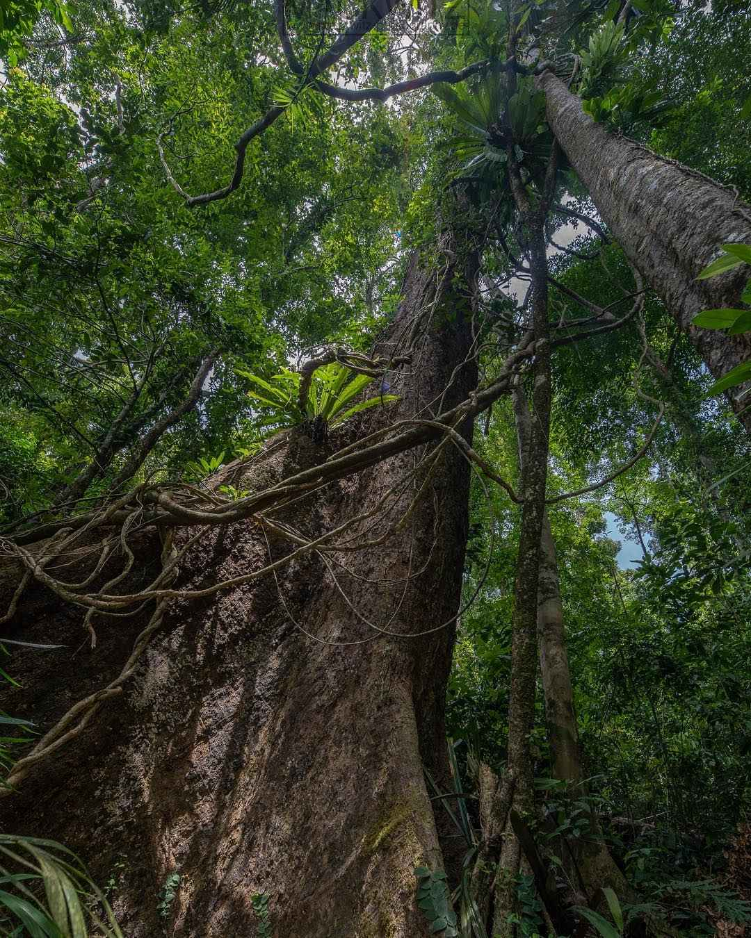 Big tree in Khao Lak Lam Ru National Park,