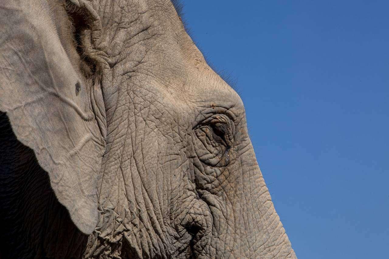 Een Thaise olifant