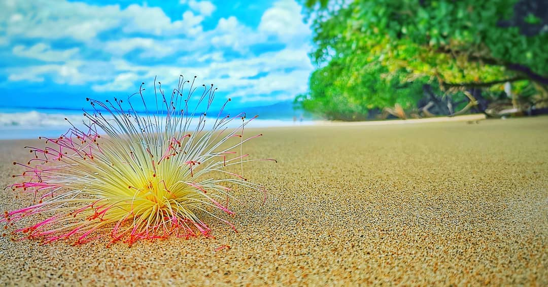 A seed of a tree at White Sand Beach, Khao Lacquer