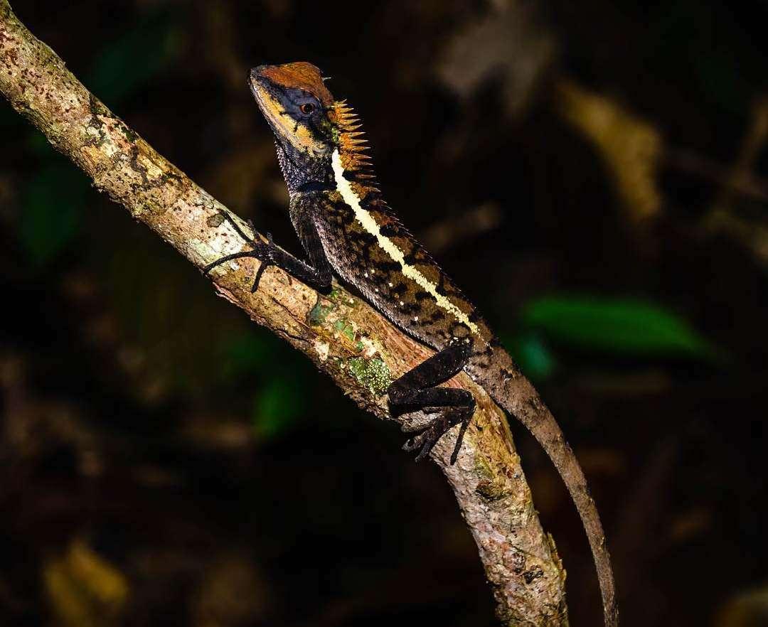 Beautiful lizard in Khao Lak Lam Ru National Park