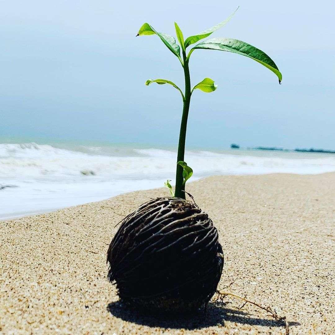 Coconut plant at Bang Sak Beach in Khao Lak