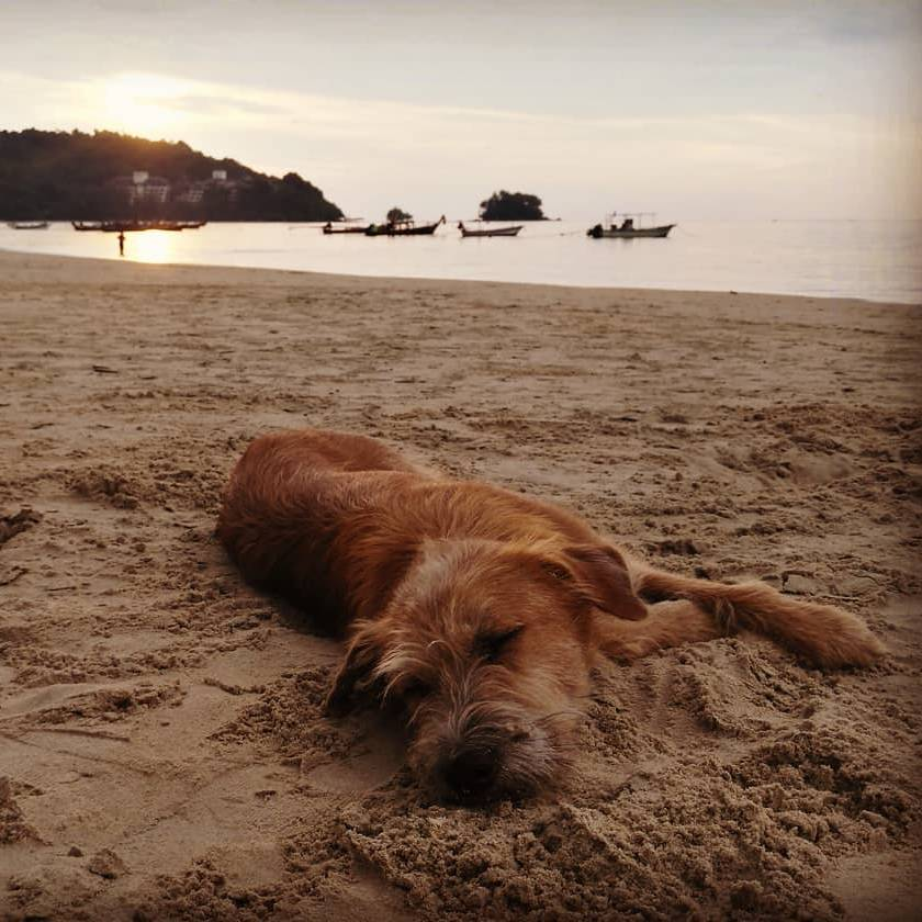 Stray dog on a beach of Sirinat National Park on Phuket