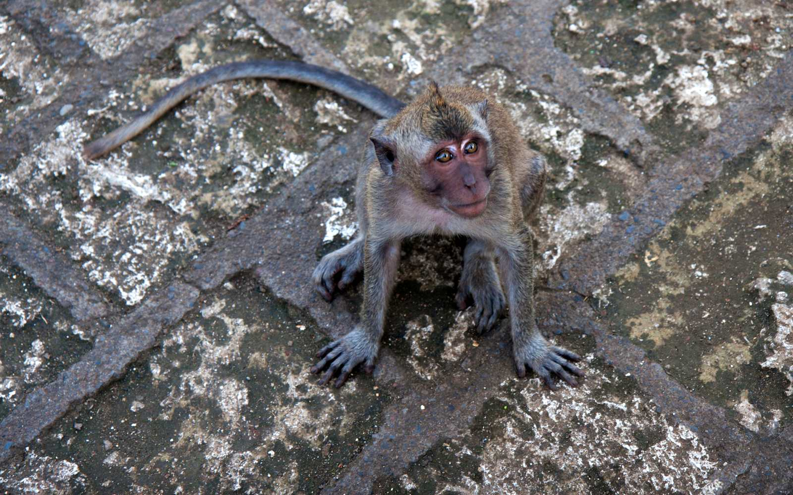Begging monkey in park of Phang Nga Town