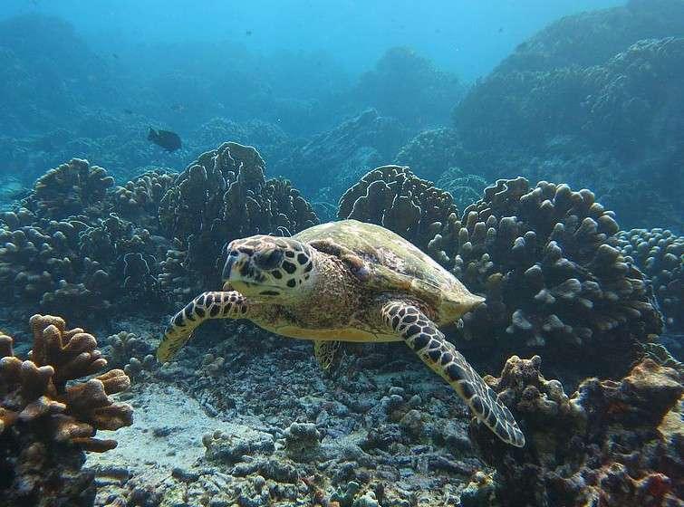 Schildpad bij koraal bij de Similan Eilanden