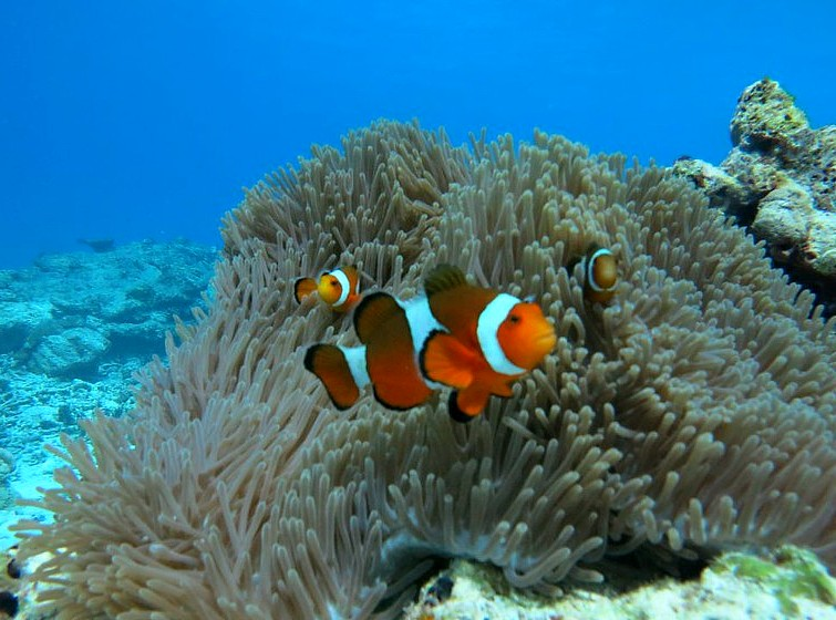 Clownfish between the coral near the Similan islands
