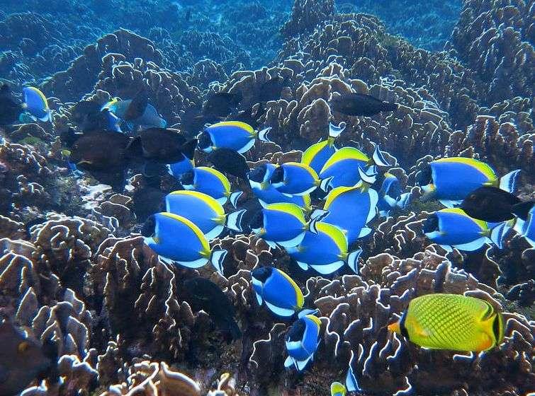 kleurrijke blauw / gele vissen in helder water
