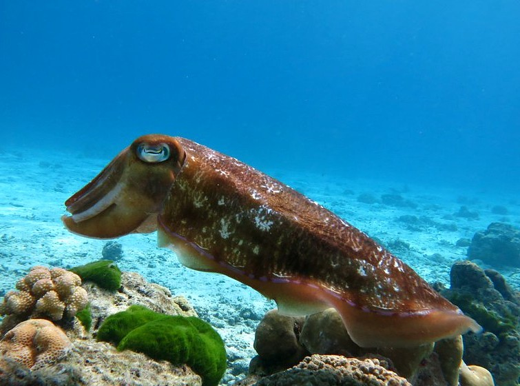 Simlan National Park, inktvis op de bodem van de zee