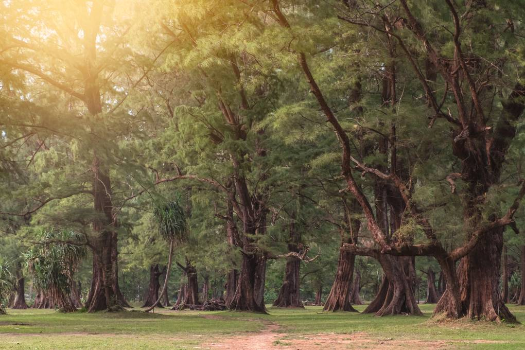 The forest in Sirinat National Park in the north of Phuket, Thailand