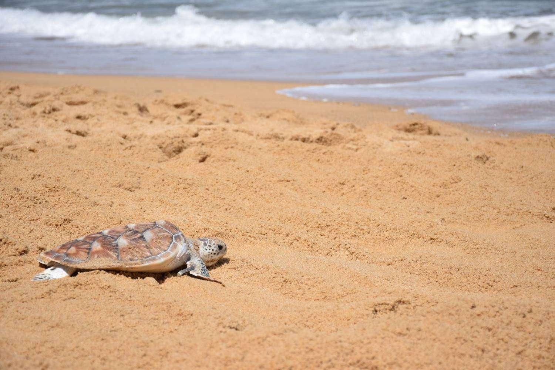 Schildpadje wordt losgelaten op het strand van Mai Khao in Phuket