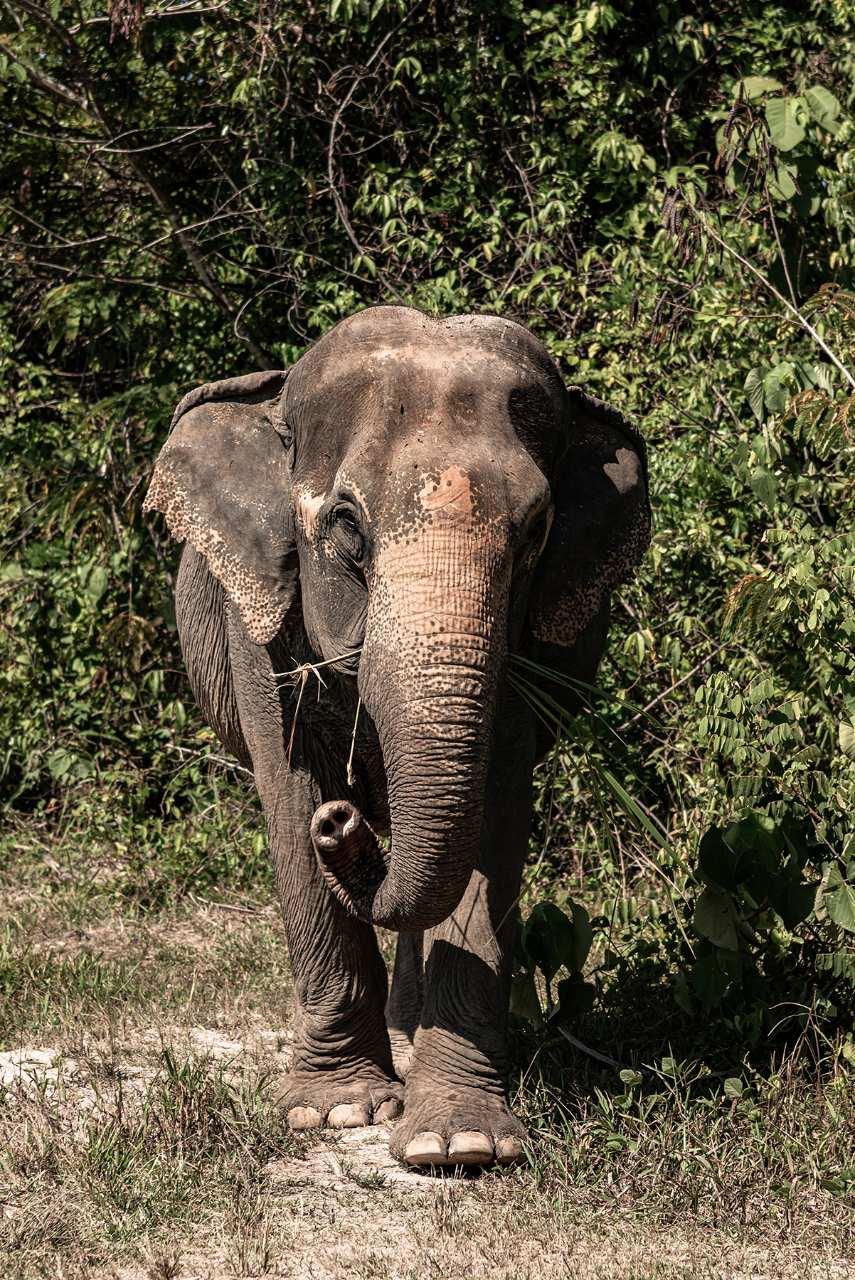Olifant in Krabi Elephant Sanctuary