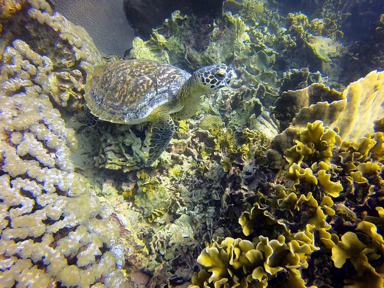 Een schildpad in de zee van Koh Tao