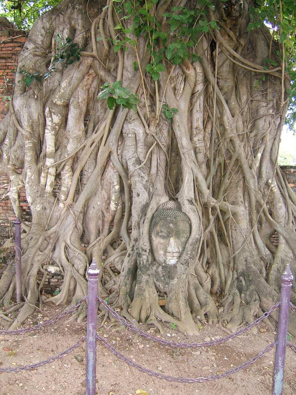 Boeddhahoofd bij de Wat Mahathat in Ayutthaya