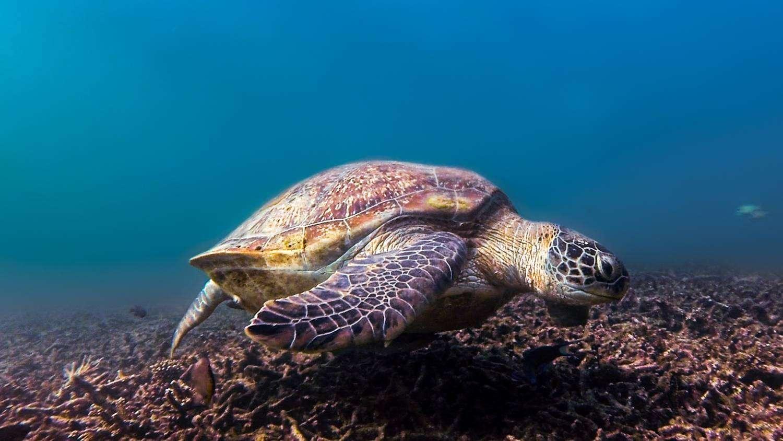 Een turtle in the ocean on Koh Tao