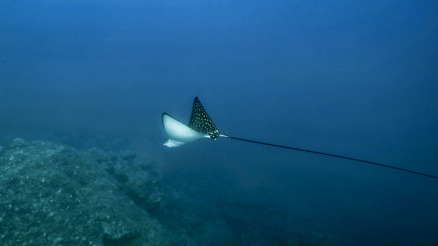 A manta ray in the sea of the Surin Islands