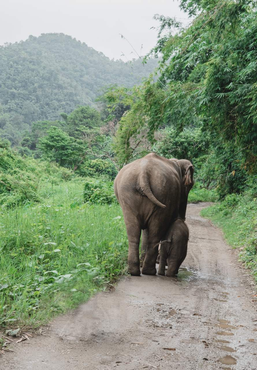 Mother elephant with baby elephant in Chiang Mai