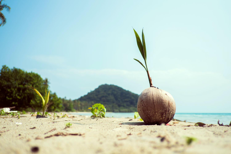 Kokosnoot op het strand van Koh Chang
