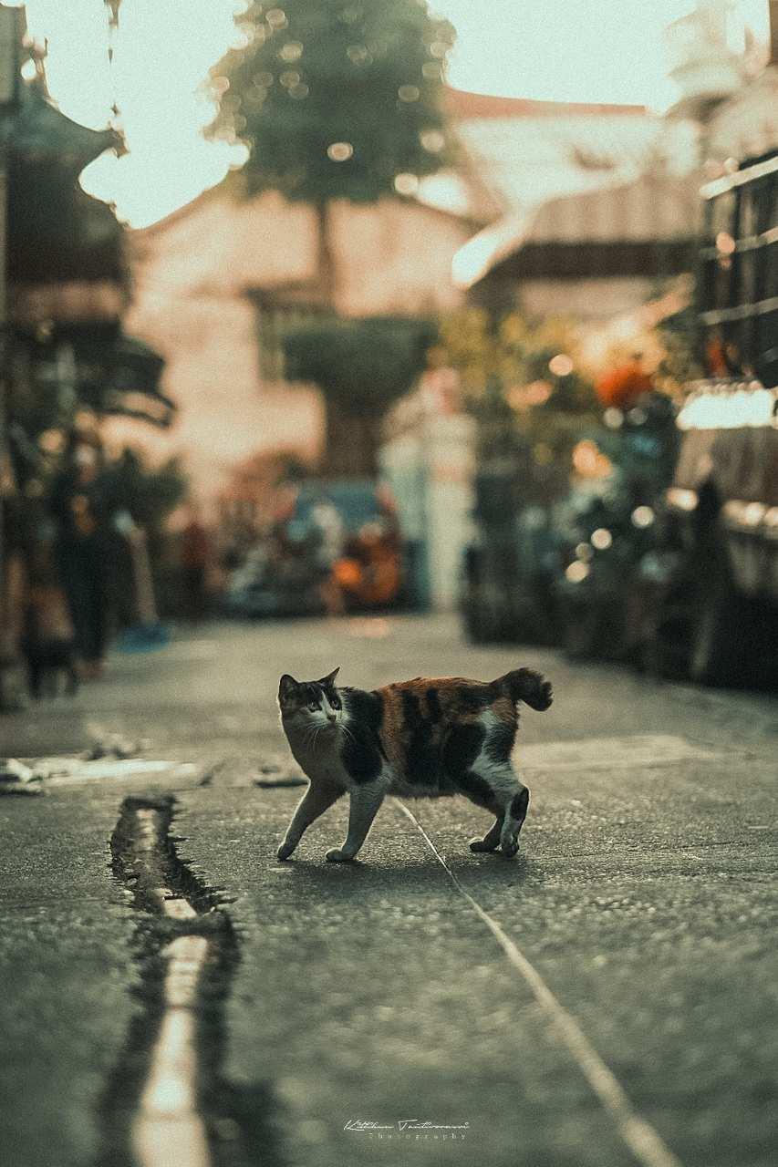 Een kat die over een straat in Bangkok loopt