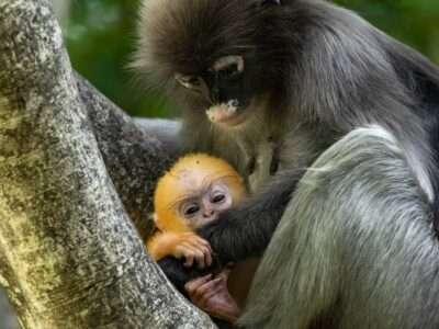 Dusky Leaf Monkey Met Een Baby